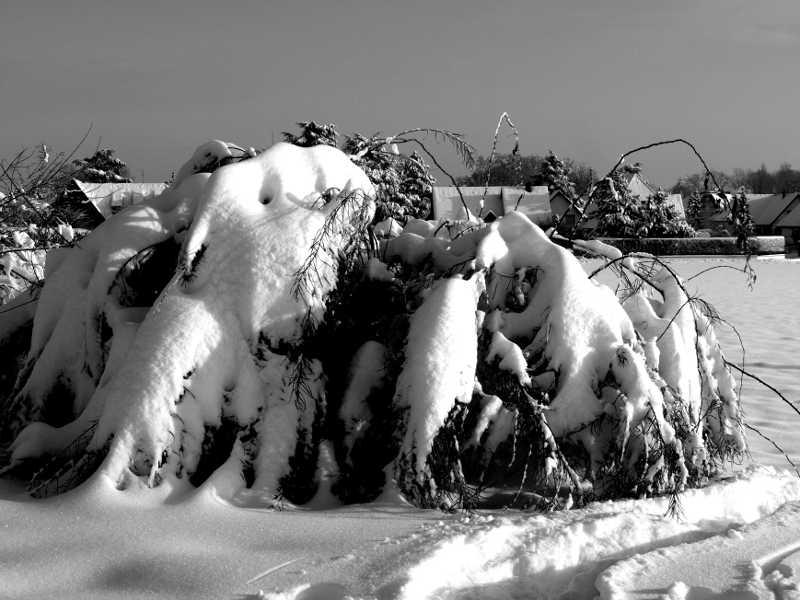 Le buisson sous la neige