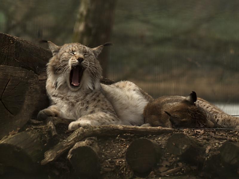 Le Lynx baille