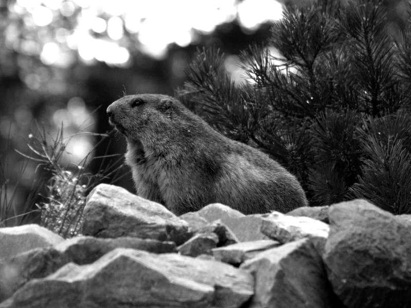 Marmotte en noir et blanc