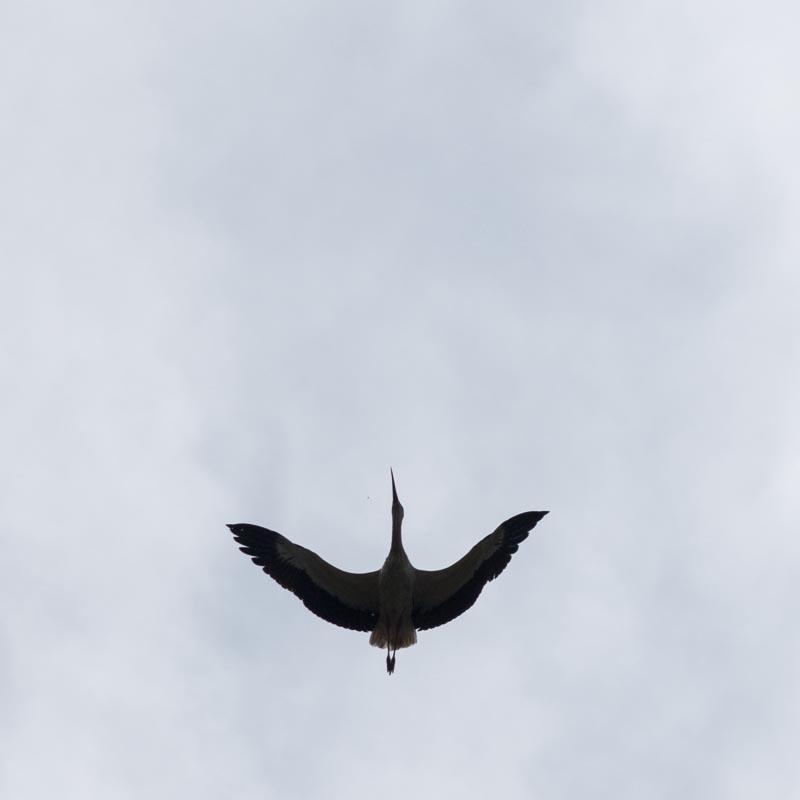 Une cigogne rebelle