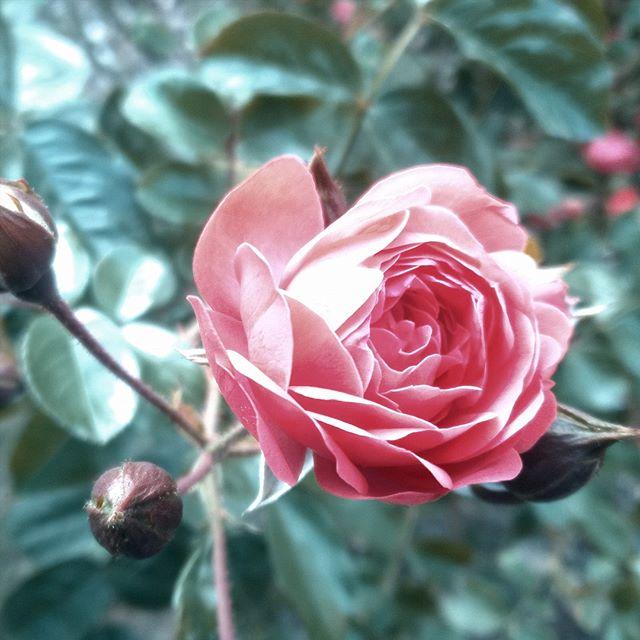 [Instagram] Une belle rose pour celle que j'aime.