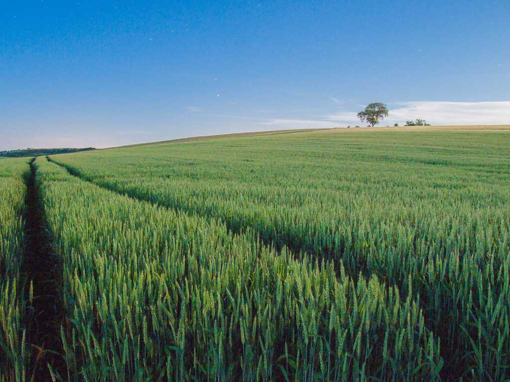 le champ de blé et le bosquet d'arbres