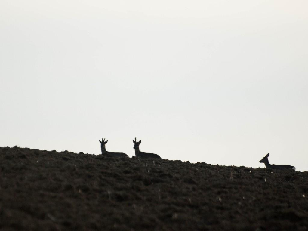 Chevreuils à contre-jour