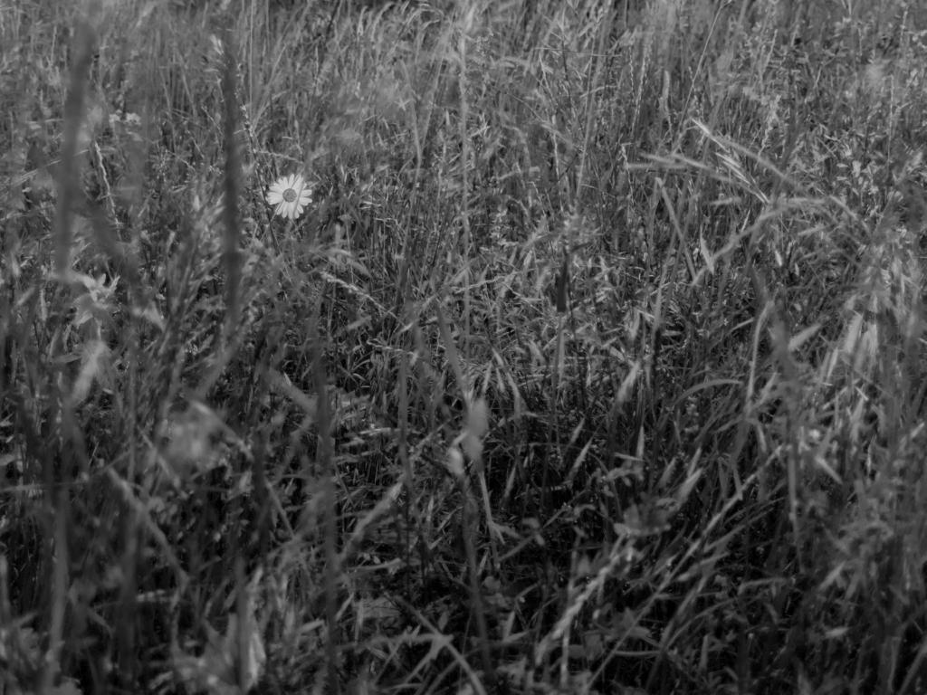 La marguerite perdue dans un océan de hautes herbes
