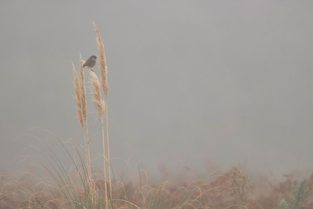 Piaf sur un graminé dans la brume bretonne